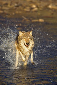 Gray or timber wolf (Canis lupes)