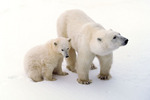 Polar bears along the shore of Hudson Bay in Canada