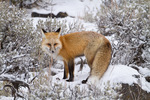 Red fox during winter in Yellowstone