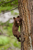 Black bear in Wyoming cub in tree