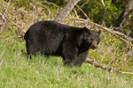 Black bear in Wyoming