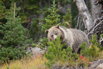 Grizzly bear in Yellowstone National Park Wyoming