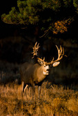 Mule deer (Odocoileus hemionus) Colorado trophy bucks