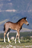 Wild horse or mustang foal in summer