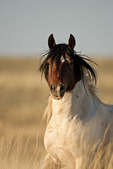 American wild mustang paint stallion in Wyoming