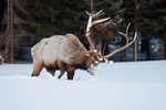 American elk or wapiti bull elk in snow