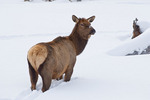 American elk or wapiti in winter