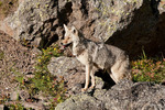Coyote (Canis latrans) in Wyoming