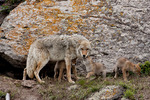 Coyote (Canis latrans) in Wyoming, Mother with pups at den