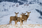 Mule deer (Odocoileus hemionus) does in snow