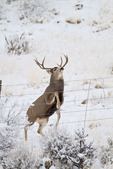 Mule deer (Odocoileus hemionus) buck jumping fence
