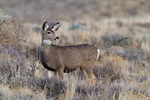 Mule deer (Odocoileus hemionus) doe