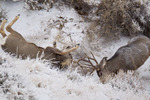Mule deer (Odocoileus hemionus) bucks fighting during the rut in the snow