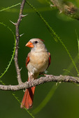 Northern Cardinal