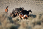 Band of wild mustangs in western Wyoming