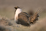 Sage Grouse male diplaying on lek in the spring