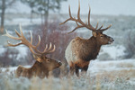 American elk or wapiti, bulls during winter