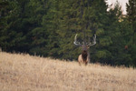 American elk or wapiti, bull elk at forest edge