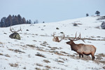 American elk or wapiti, bulls in winter
