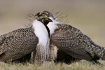 Sage Grouse males diplaying on lek in the spring