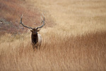 American elk or wapiti bull during autumn rut