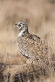 Sage Grouse during winter in Wyoming