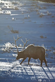 American elk or wapiti, bull feeding in winter snow