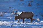 American elk or wapiti, bull in winter