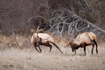 American elk or wapiti, bulls fighting