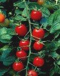 Sweet Thing Grape Tomato