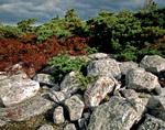 Dwarf Pitch Pine Barrens