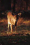 White-Tailed Deer in late afternoon light