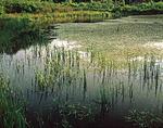 Aquatic vegetation in a fresh water pond