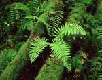 Fern and Moss Covered Log