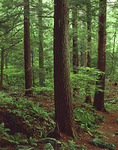 Old Growth Eastern Hemlock Forest