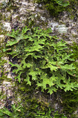 """Lungwort"", or ""Lung Lichen"""