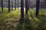Pine Forest at Dusk