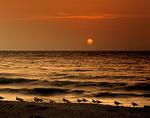Ring-billed Gulls at Sunset