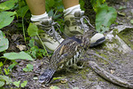 Ruffed Grouse at Hiker's Feet