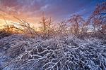 Gray Birch in Ice Storm
