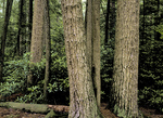 Old Growth Hemlock/White Pine Forest