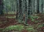 White Spruce Forest