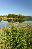 Joe-Pye-Weed Along Rose Valley Lake