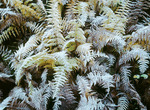Frost on Hay-Scented Ferns