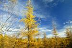 Autumn Tamaracks
