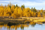 Autumn Tamaracks