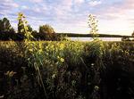 Sunflowers at Tochickon Along Nockamixon Lake