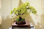 Pitch Pine Bonsai