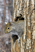 Eastern Gray Squirrel at Den Tree