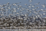 Greater Snow Geese Staging During Spring Migration